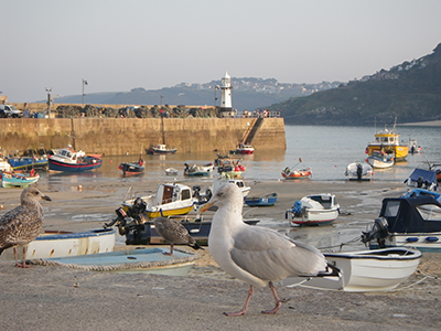 St Ives harbour - with seagull