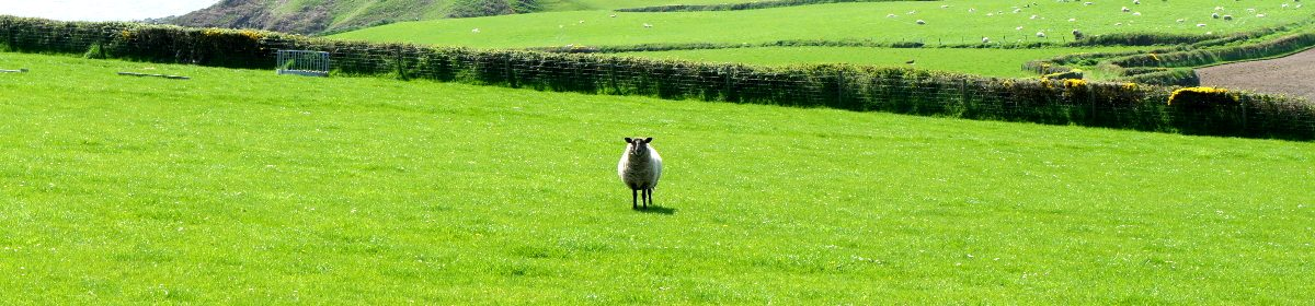 photo of a sheep in the middle of a field
