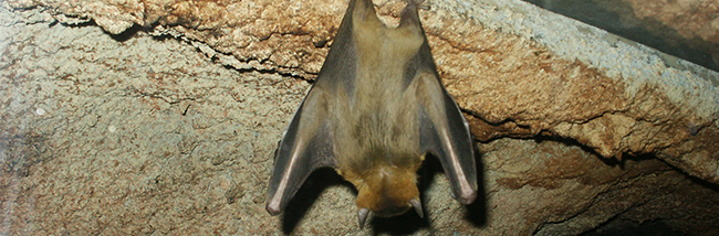 bats-and-other-protected-species-in-your-belfry