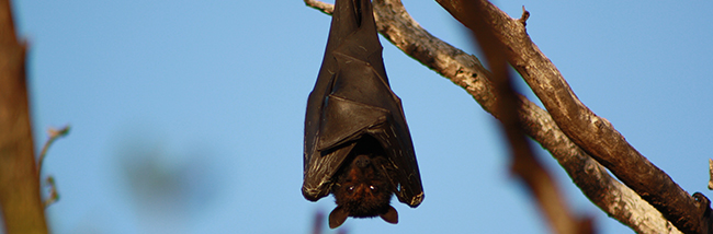 bats-dying-from-the-bends-due-to-wind-turbines
