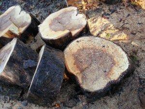 Diseased Tree cut down
