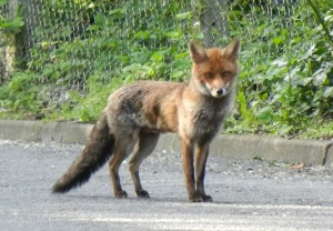 urban foxes - a dying breed?